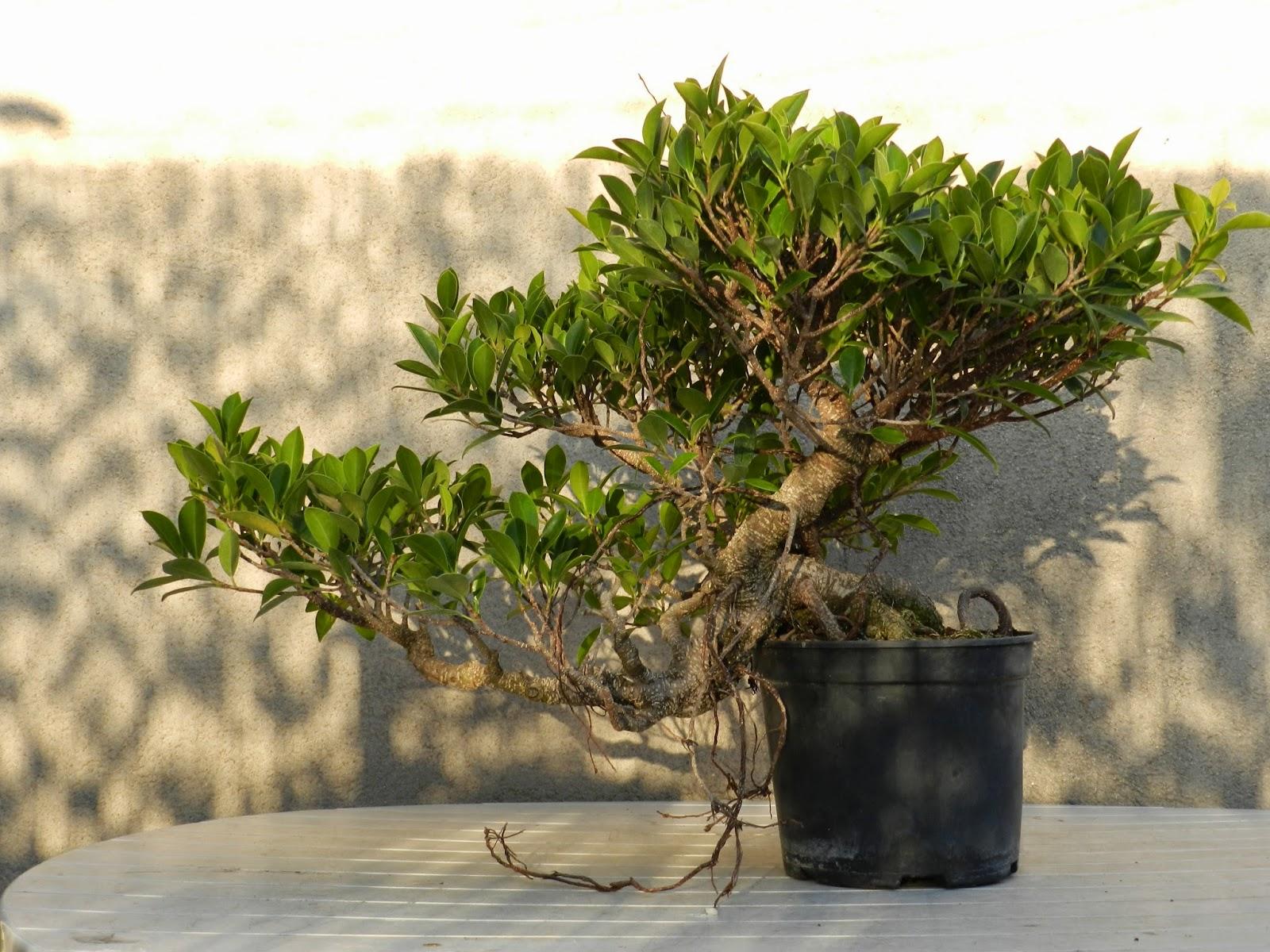 Cartagena bonsai un ficus en cascada - Como se cuida un bonsai ...