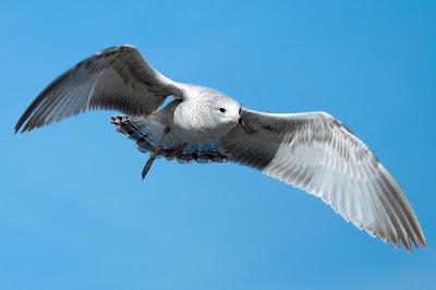 Ring-billed Gull, Centennial Park