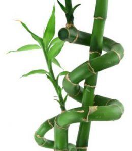 http://1.bp.blogspot.com/-QiK9oMCRu7Q/TmiI9H6hA_I/AAAAAAAAA48/_rsZXc7RXEU/s1600/serenity+lucky+bamboo.jpg