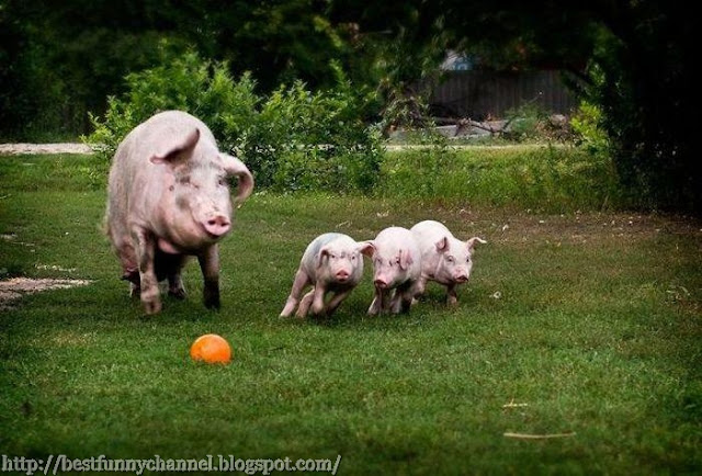 Pigs soccer players.