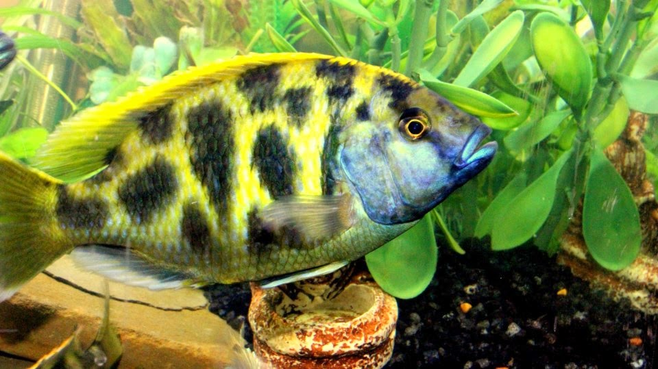 Cichlids Of The African Great Lakes My Top 10 Malawi