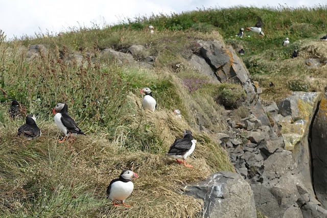 picture of puffins
