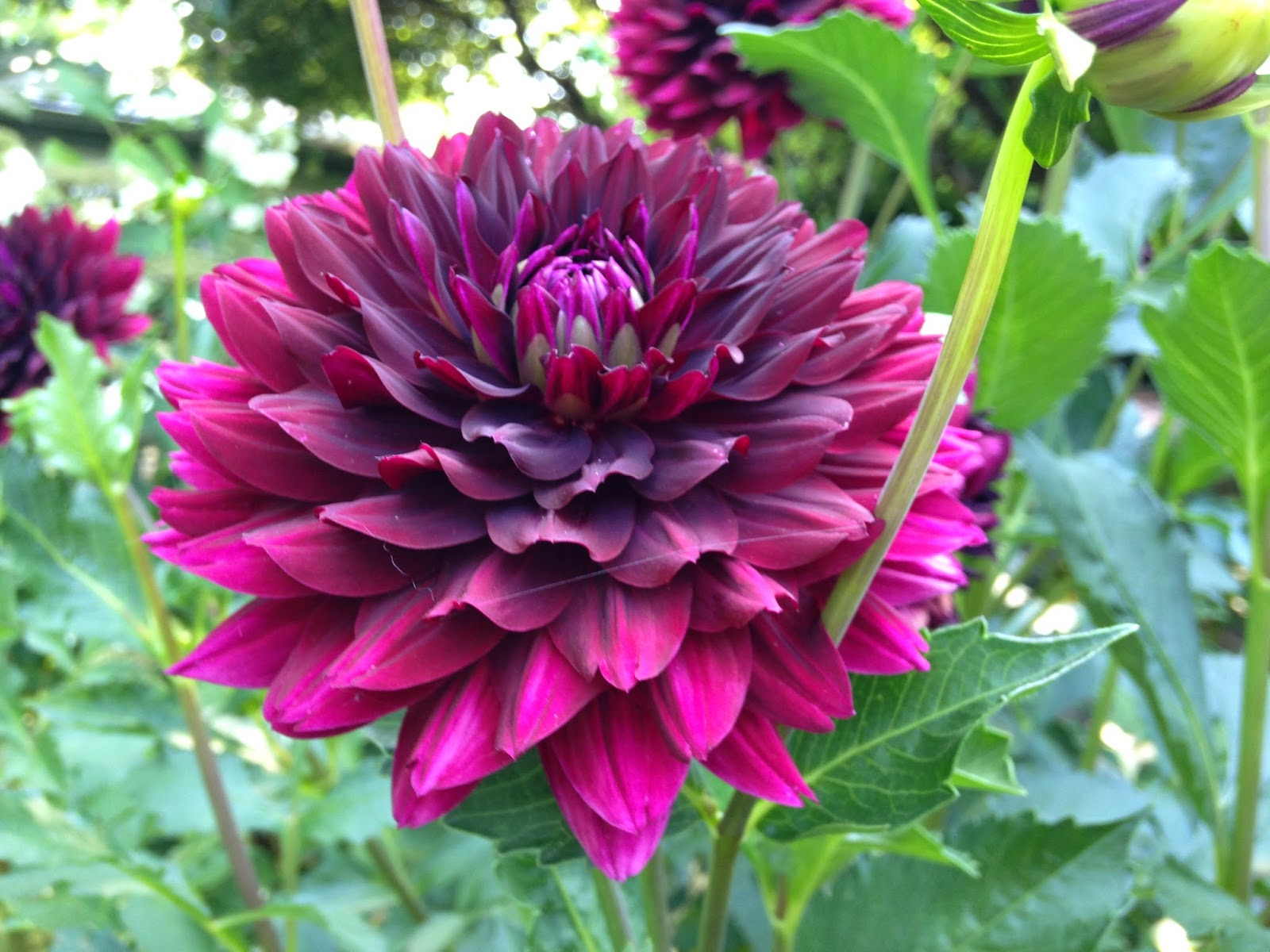 Miss jolie anns kitchen garden for the love of dahlias i just could never do it however for certain dahlias are in my top 10 favorite flowers they are just so beautiful in the summer garden izmirmasajfo