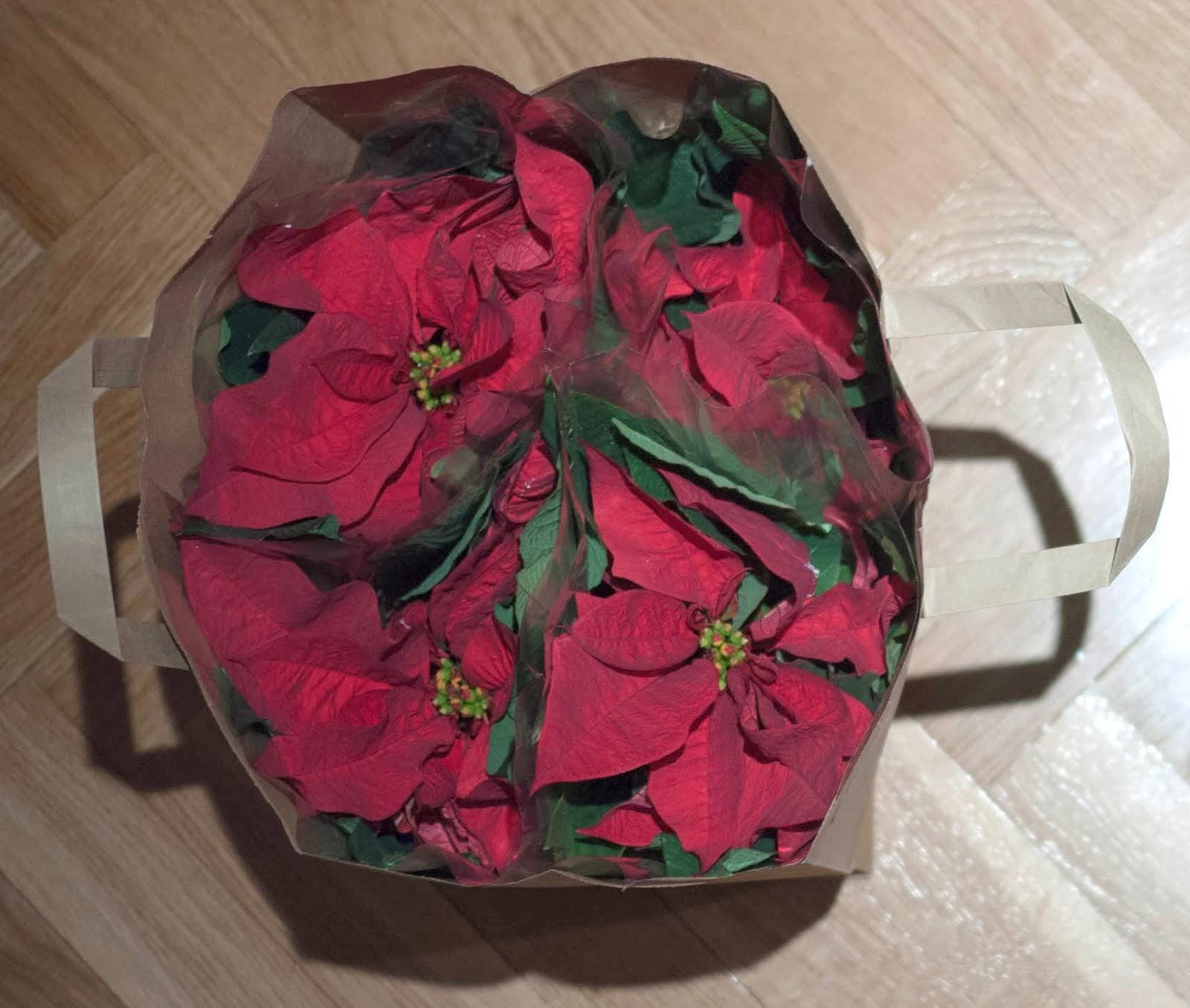 Flores de Pascua listas para regalar a los profesores en Navidad