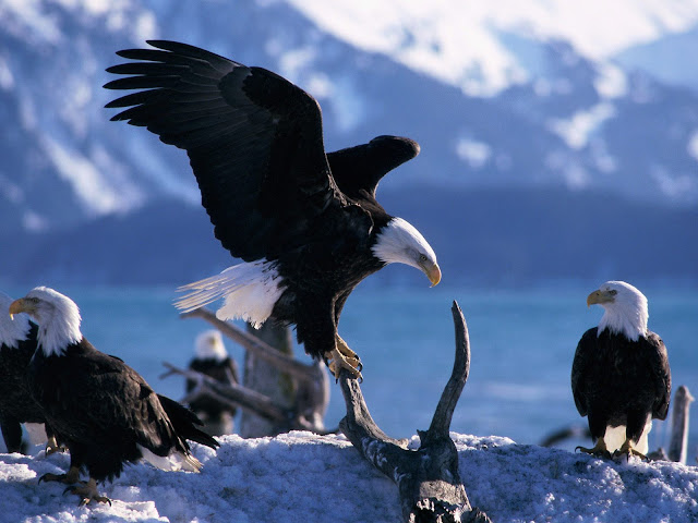 Eagle_wallpaper_hd_7