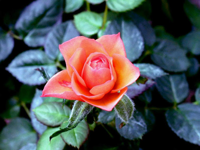 orange background rose