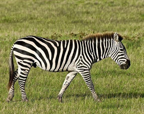 Zebra Scientific Name HD wallpapers & To...