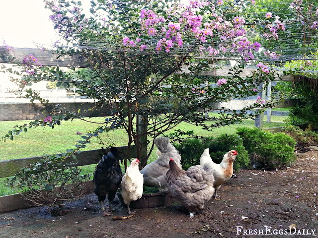 Fresh Eggs Daily®: Chicken Run Landscaping