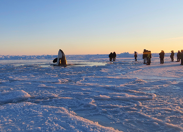 In Quebec Whale Family Trapped In An Ice Sheet