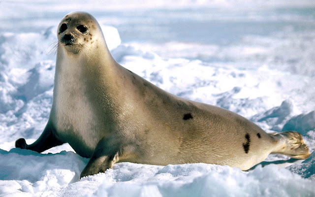 HD animal wallpaperwallpaper with a big seal walking through the snow in the winter