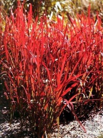 Crabapple landscapexperts ornamental grasses crabapple for Japanese ornamental grass varieties