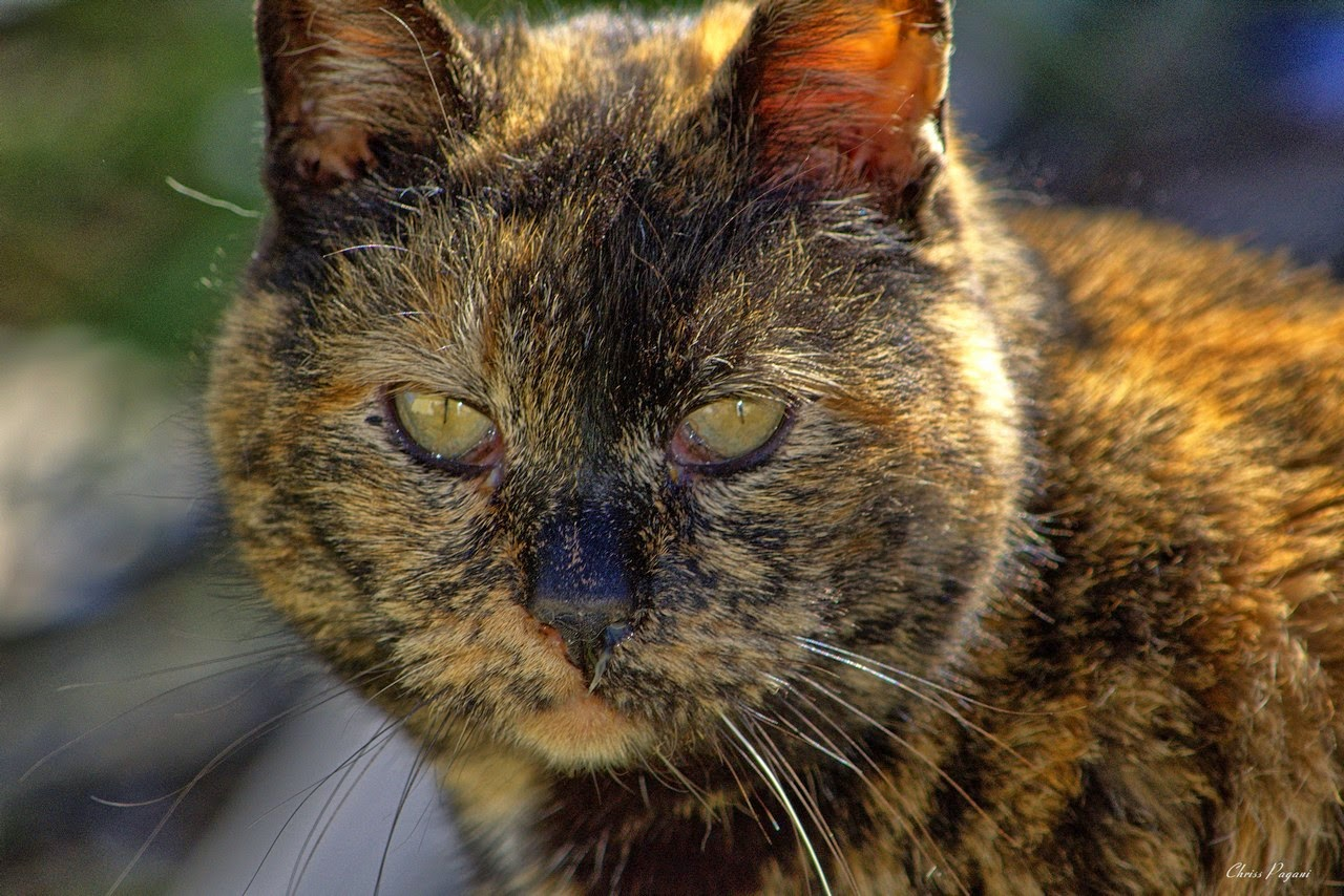 Beautiful old tortie feral cat, up close picture of her face