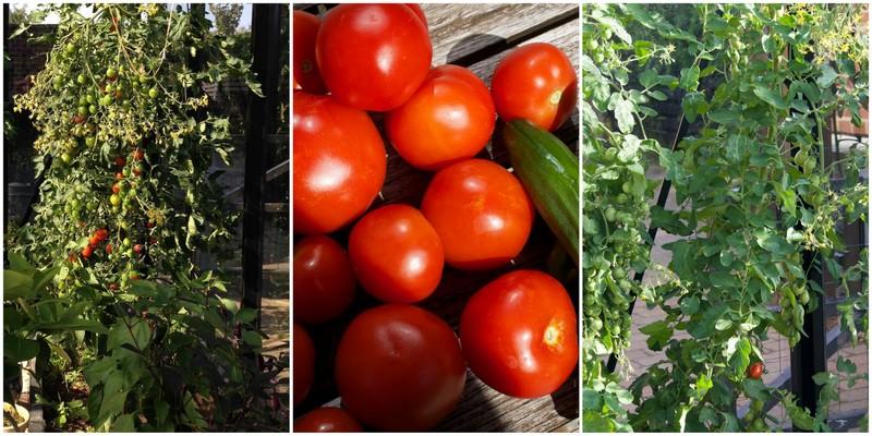 Tomatdyrkning