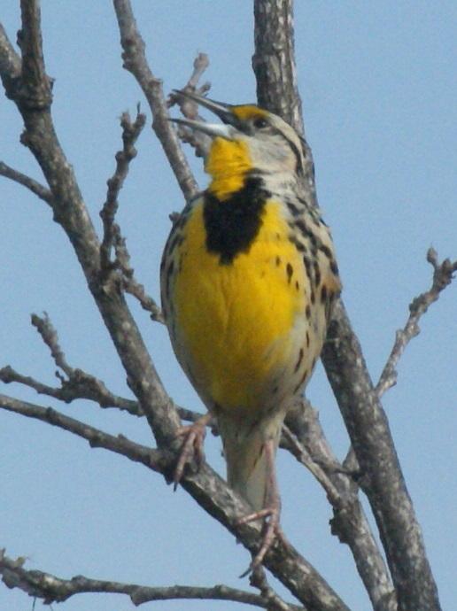 green breasted bird texas