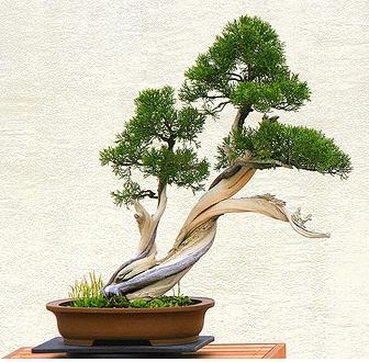 fashion show mall jobs bonsai making styling video panduan rh fashionshowmalljobs blogspot com Bonsai Wire Sizes Bonsai Styles