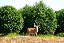 80% of California's Weed Still hitting the Black Market