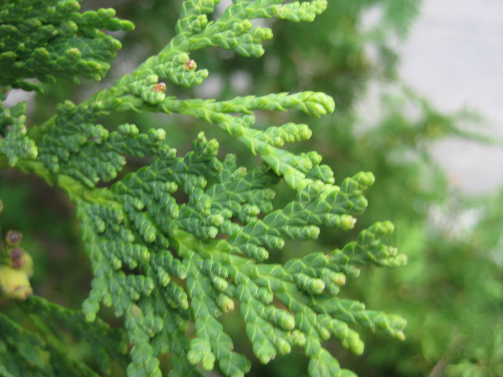 Juniper Tree Leaves | www.pixshark.com - Images Galleries ...