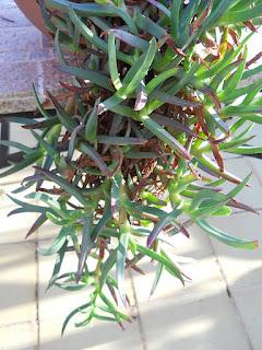 cactus carpobrutus edulis