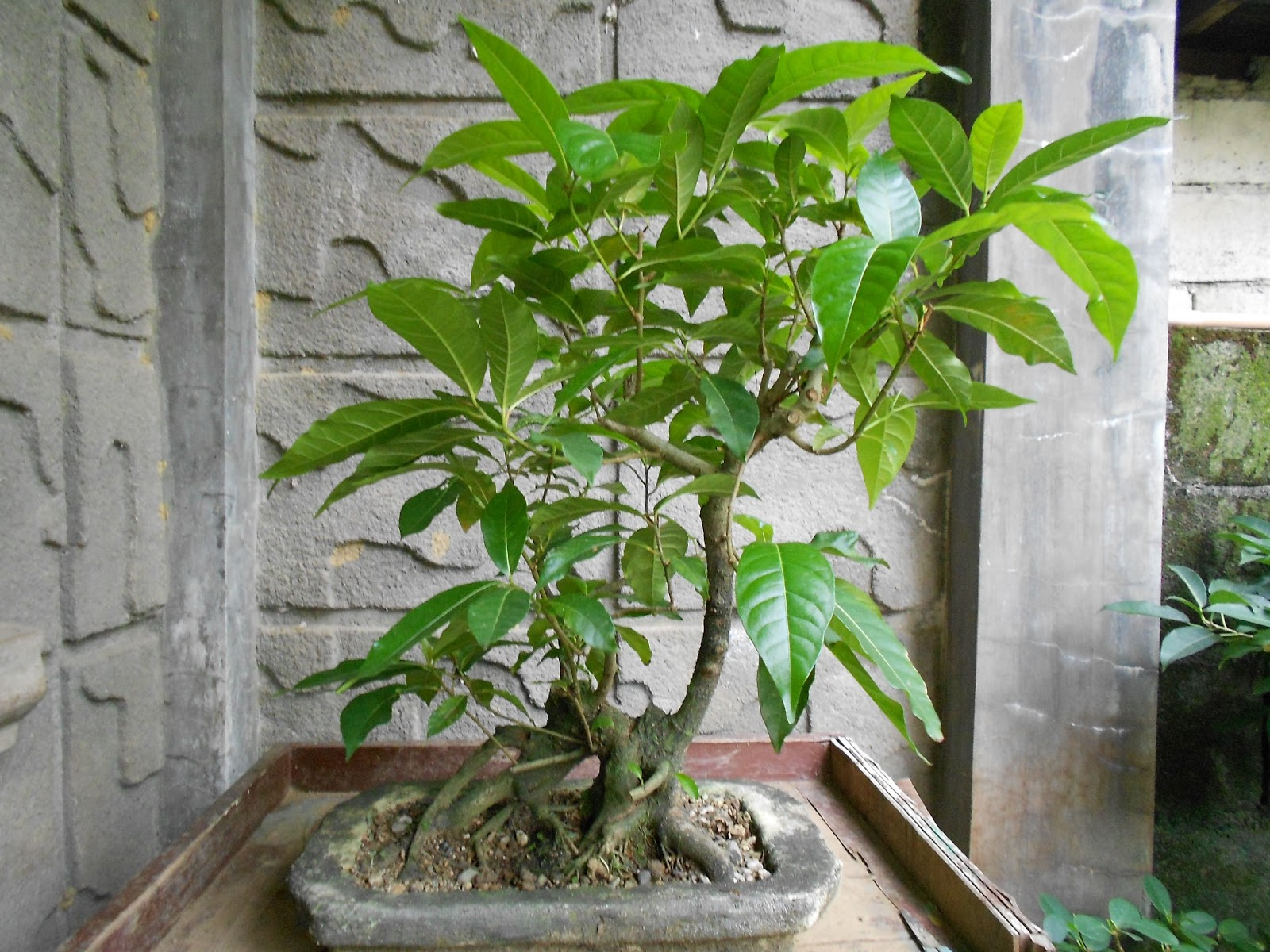 BONSAI ART AND HOME GARDENING GROWING LARGE LEAVED TREES FOR BONSAI