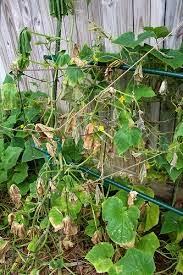 tanda tanda tanaman stress, cara mencegah tanaman stress, cara mengetahui tanaman stress
