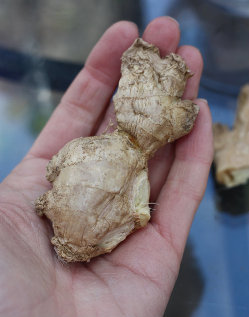 How To: Plant and Grow Ginger Root