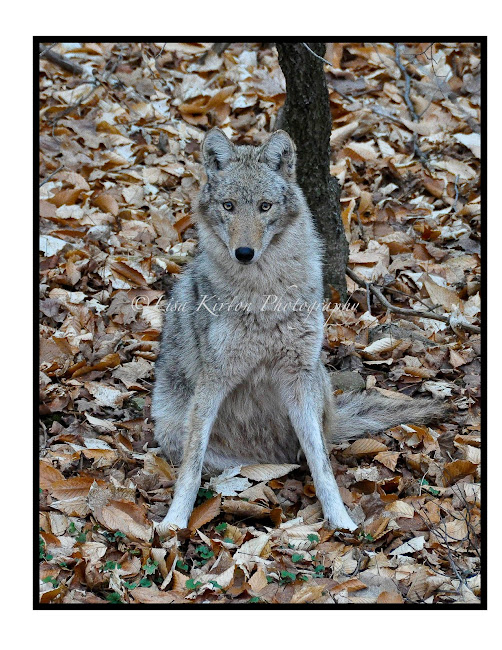 Look Into My Eyes - Coywolf Posing For Me