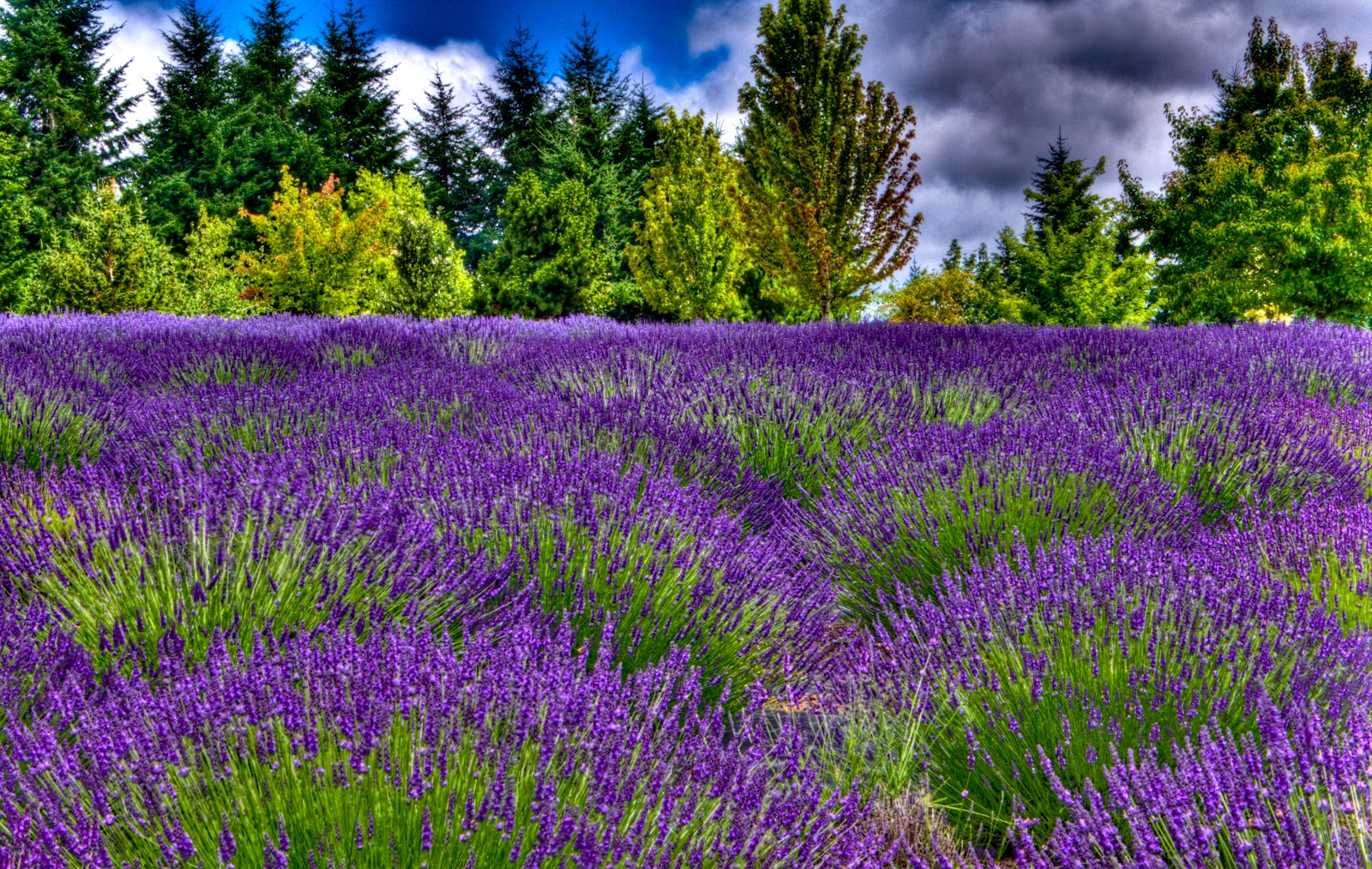 Thom Zehrfeld Photography : Cool Lavender Fields