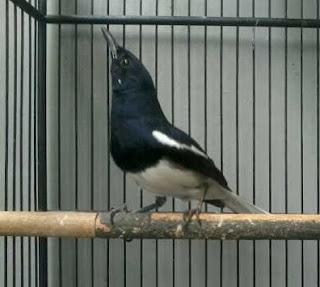 Tips Menaikkan Durasi Bertarung Burung Kacer