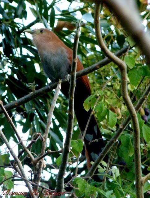 Squirrel Cuckoo Piaya cayana birdwatching Nicaragua