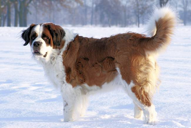 World Largest St. Bernard In