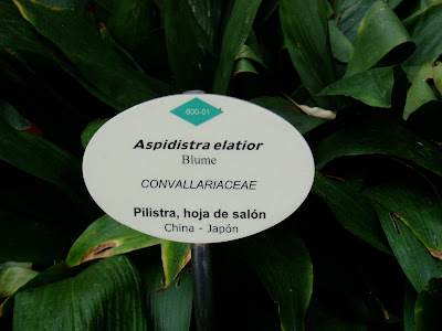 ASPIDISTRA: Aspidistra elatior