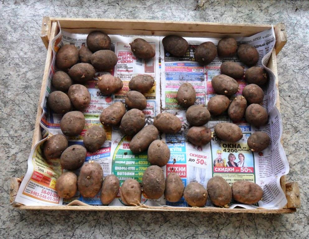1.05. Купил семян сортовых в магазине. Семенной картофель РЕД СКАРЛЕТ.