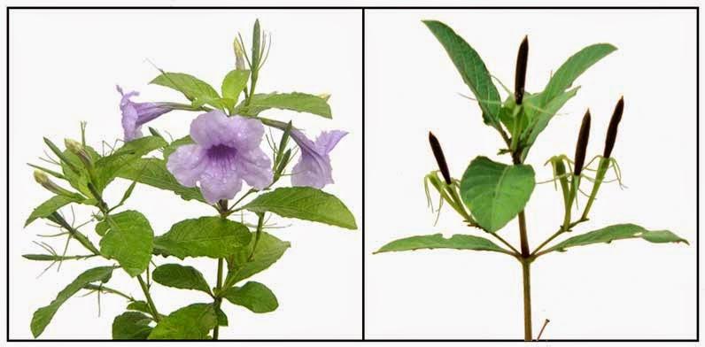 Manfaat Tanaman Ruellia tuberosa