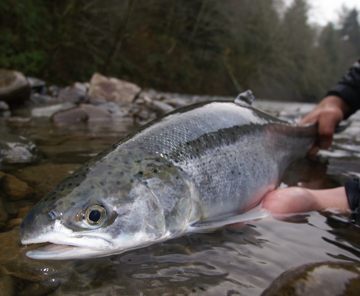 Oregon s north coast rivers mid december report water for Trask river fishing report