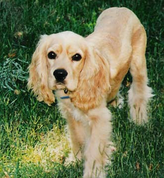 american cocker spaniel dog pictures sporting dog breeds pictures