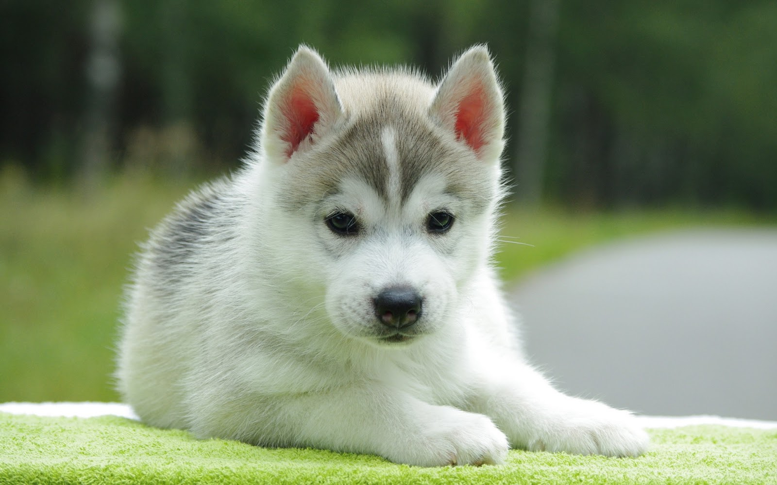 Cute Husky Dogs Puppies wallpapers