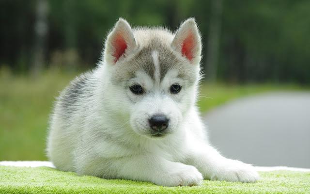 Husky Cute Puppy