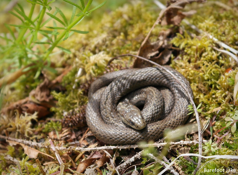 snake olympic