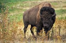 http://www.statesymbolsusa.org/Wyoming/mammal_buffalo.html