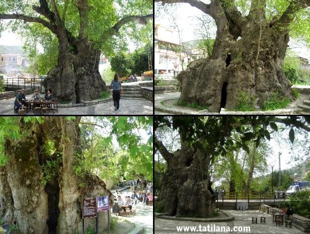 Hatay Musa Ağacı