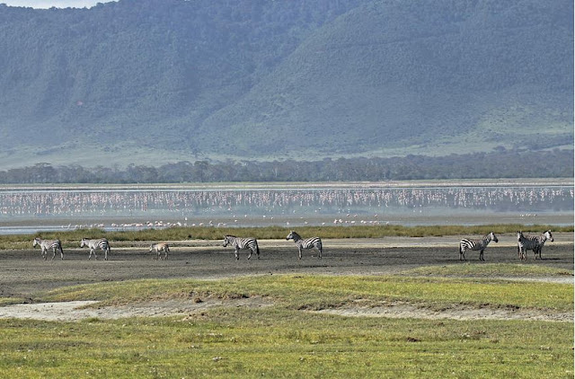 Buy canvas artwork of Zebra At Ngorongoro