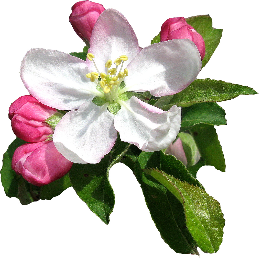 Tattoo symbolism flower tattoo symbolism apple blossom meanings intoxicating by their very nature apple blossoms are symbolic of heady love peace sensuality and fertility izmirmasajfo
