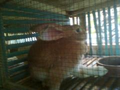 kelinci-6
