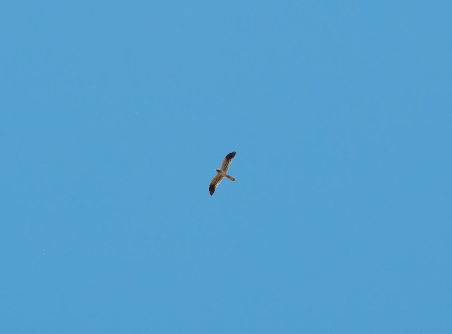 Montagu's Harrier - Spain