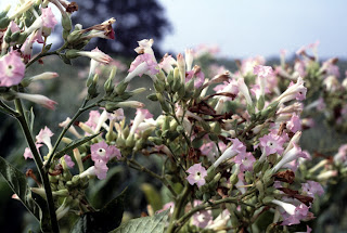 Tobacco plants in bloom