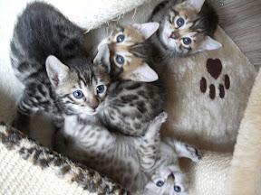 Gattini Bengal