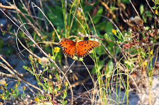 Pensacola Beach~ Annual monarch butterfly migration
