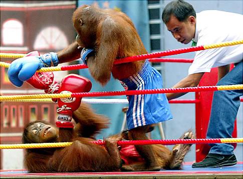 Wow! Ada Kompetisi Tinju Monyet di Thailand!