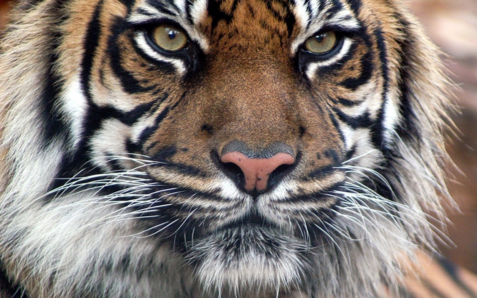 qq wallpapers tiger and - photo #4