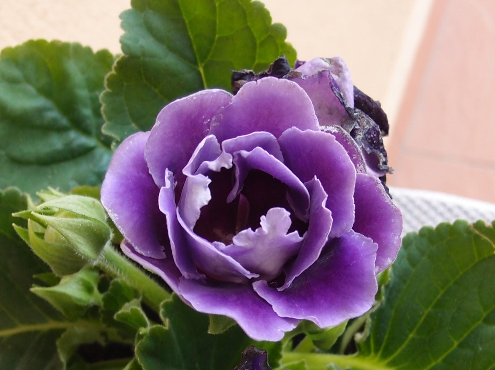 Глоксиния: уход в домашних условиях Комнатный цветок 52